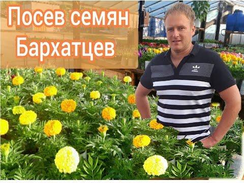 Посев Бархатцев