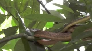 ミナミオオガシラ(特定外来生物)【AAK Nature Watch】