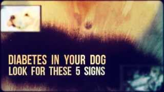 Treatment For Diabetes In Dogs | Diabetes In Dogs | Diabetes Symptoms In Dogs | Blindness | Mellitus