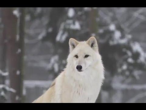 صوت ذئاب مخيف من داخل عاصفة ثلجية Howling Wolfs In Snowstorm Youtube