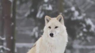 صوت ذئاب مخيف من داخل عاصفة ثلجية Howling wolfs in snowstorm