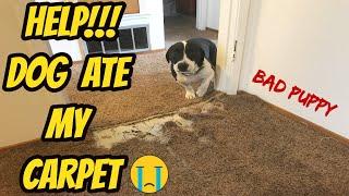 HELP!!! Dog ate my carpet! Pet Damage Carpet Repair