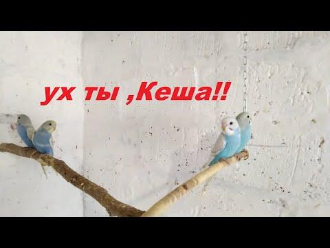 Это важно знать перед тем как заводить волнистого попугая у себя дома!