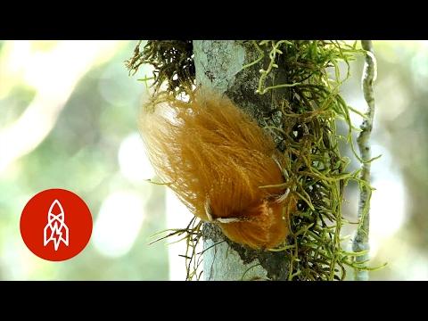 The Caterpillar That Looks Like Donald Trump's Hair