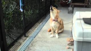 遠吠えがヘタな犬 ラッキー thumbnail