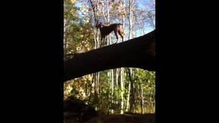Weimaraner Jumping Off A Tree