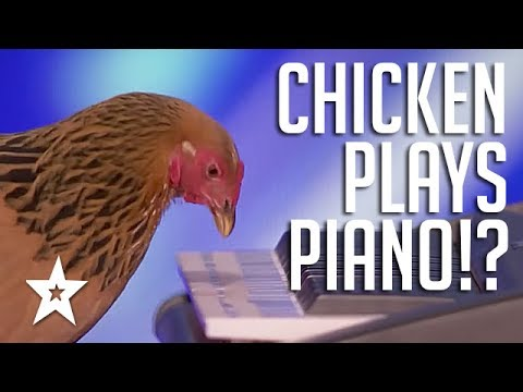 Chicken Plays Piano?! Only On America's Got Talent 2017!! | Got Talent Global
