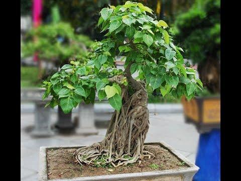 Bonsai peepal tree