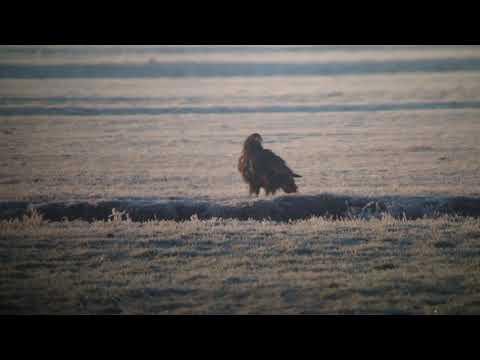 White tailed Eagle 2nd cy   Zeearend 2e kj   Oud Ade   The Netherlands   Luuk Punt 190121 1