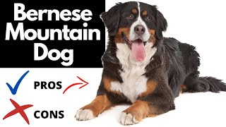 Bernese Mountain Dog Pros And Cons | The Goods AND The Bad!!
