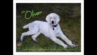 """Standard Poodle """"Oliver"""