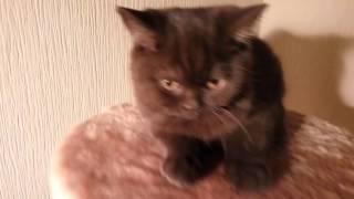 Шоколадный котёнок британец Quickly