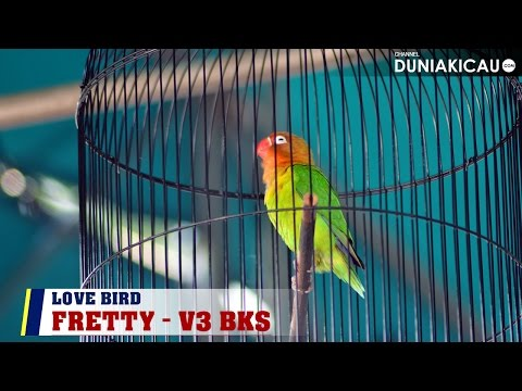 Love Bird Fretty Konslet Di Latpres The Winner Metropolis & Membantu Serdadu BC Meraih Juara BC