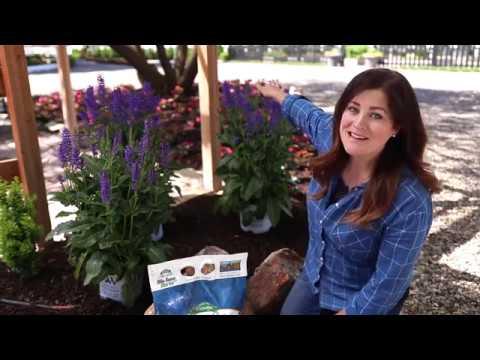 Enjoying Perennial Salvia Plants in your Garden