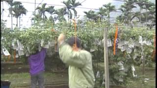 利用性費洛蒙防治楊桃果實蛀蟲