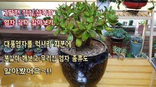 대품염자를 럭셔리화분에 분갈이및 2달전 적심,삽목한 염자 상태 알아보기~!!Succulents