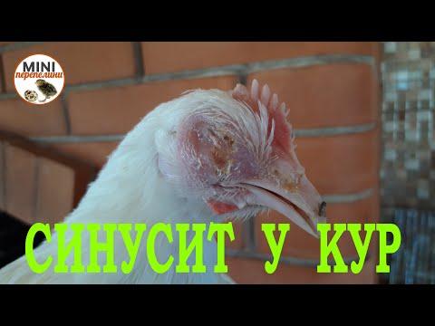 Лечим синусит у курицы.