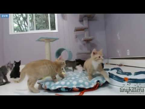 Tiny Kittens Shelly puts nursing sweater on Tip and poofiness everywhere