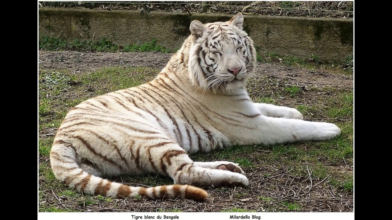 Tigre blanc du bengale milardello youtube - Photo de tigre blanc a imprimer ...