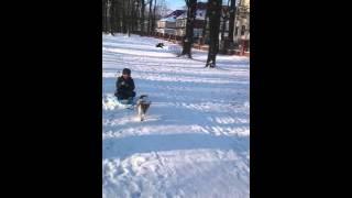 Гоша- ездовая собака