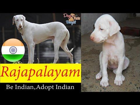 Rajapalayam dog Facts in English | Indian Dog | Popular Dogs | Dog Facts Bengali