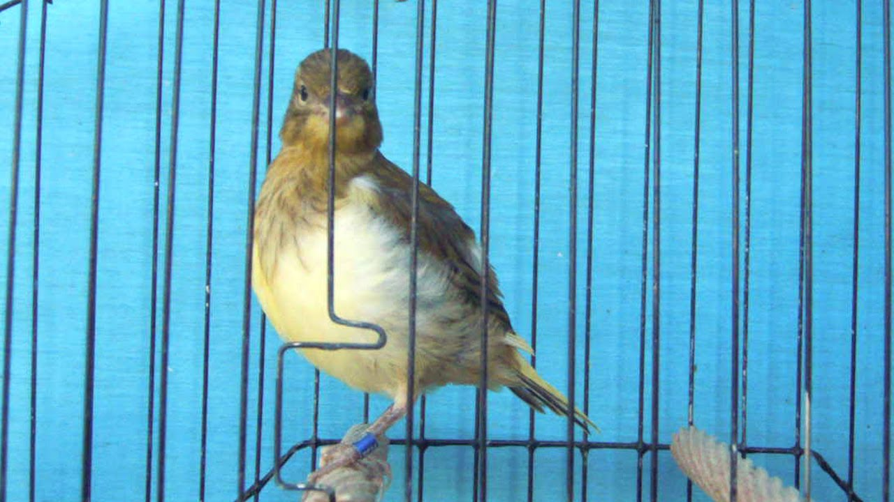 heavily variegated fife canary at 21 days old
