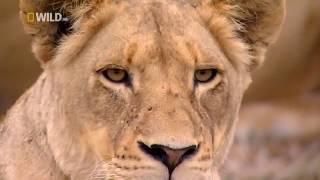 Животные мира Вершина пищевой цепи Лев Материнское чувство Охота Поле боя Пик трона Прайд Африка