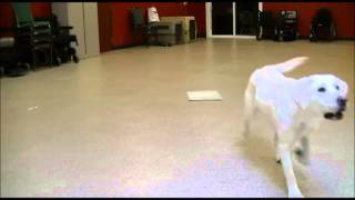 Can Do Canines - Autism Assist Dog Training Video