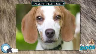 English Foxhound  Everything Dog Breeds