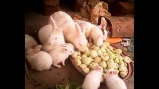 rabbit farming in india , west bengal