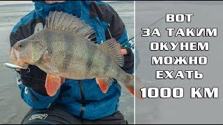 Вот за таким ОКУНЕМ можно ехать 1000км Первый лёд 19 20 на ВОЛГЕ Куйбышевское водохранилище