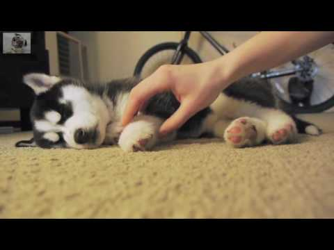 FUNNY DOGS   TOP 10 CUTEST HUSKY PUPPY VIDEOS OF ALL TIME