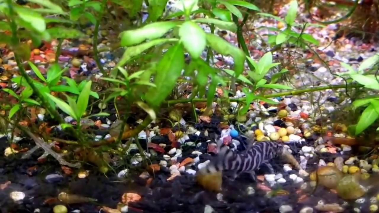 Freshwater aquarium fish that eat snails - Yoyo Loach Eating Snail