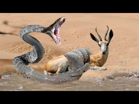 The silent Giant Python attack, swallowed the Antelope easily - Antelope poor no way out