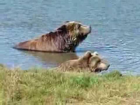 meleg medve nagy faszt