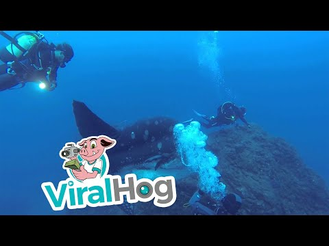 Divers dwarfed by an enormous sunfish