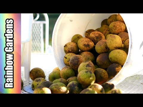 BLACK WALNUTS: How to Harvest, Clean, and Crack Walnuts, Share Your  Food Memories
