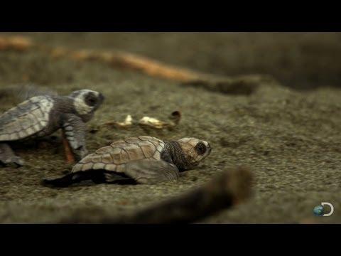 Sea Turtles Run the Gauntlet | North America