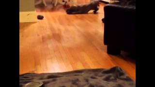 Weimaraner Puppy Pointing A Toy At 6 Weeks