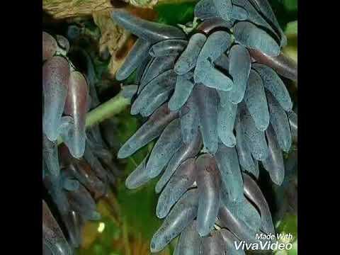 jual-bibit-anggur-witch-finger-ke-seluruh-indonesia-085733660033