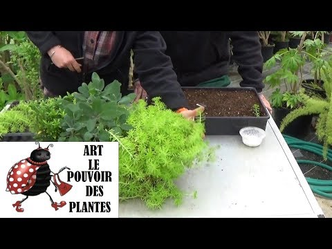 :Jardinage:bouture de sedum lemon ball: Plante vivace