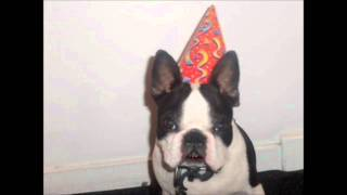 Happy First Birthday Rudy, The Boston Terrier