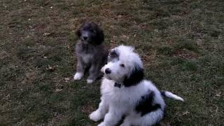 Ellie & Mowgli Sheepadoodle Puppies- 13 wks (3 months) old