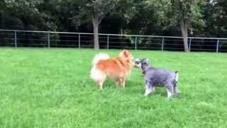 Miniature Schnauzer Flirts With A Local Boy