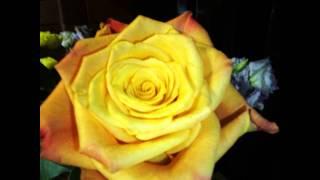 Смотреть видео цветущие розы затопило грунтовыми водами