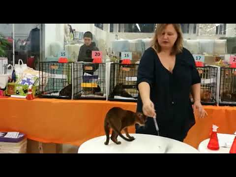 Cat exhibition- Abyssinian cat