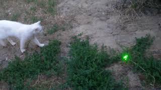 Белая кошка и лазерная указка