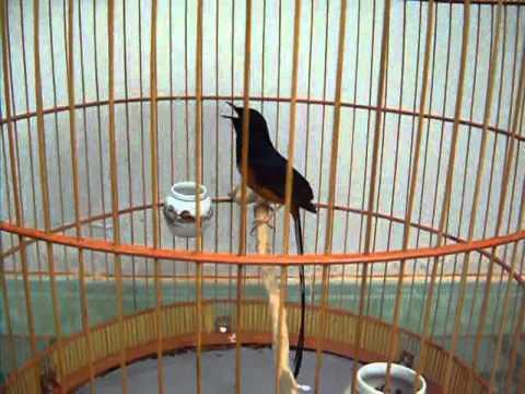Chim Chích Chòe Lửa Đuôi 23 Hót