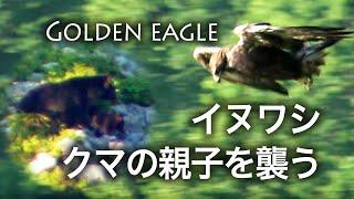 野鳥動画・イヌワシ・クマの親子に襲いかかる・野鳥観察・野鳥撮影 / Golden Eagle