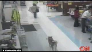 Shoplifting dog - husky steals rawhide from store